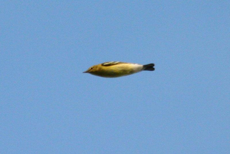 Fall 2009 Warbler Quiz Bonus