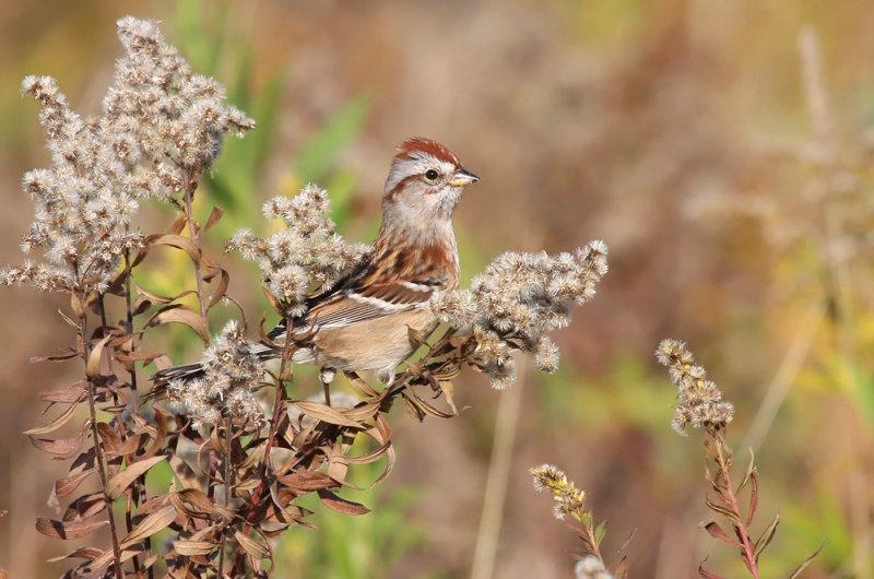 American Tree Sparrow 3524