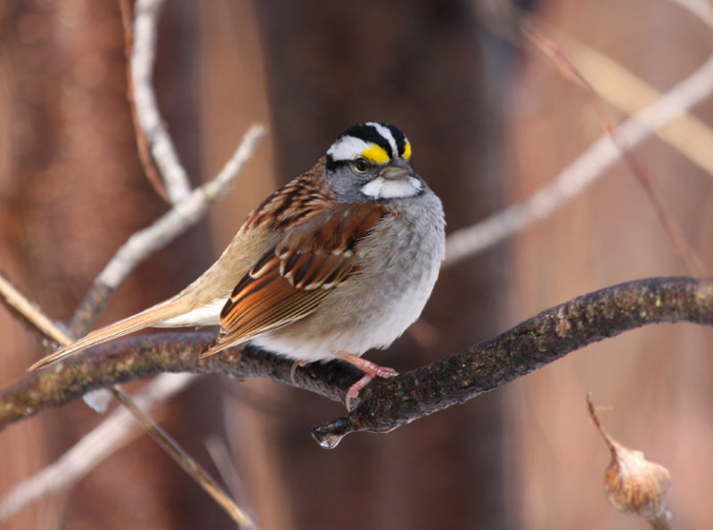 White-throated Sparrow 0685