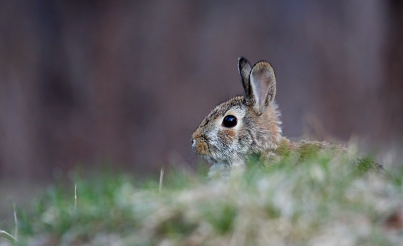 Eastern Cottontail 0702
