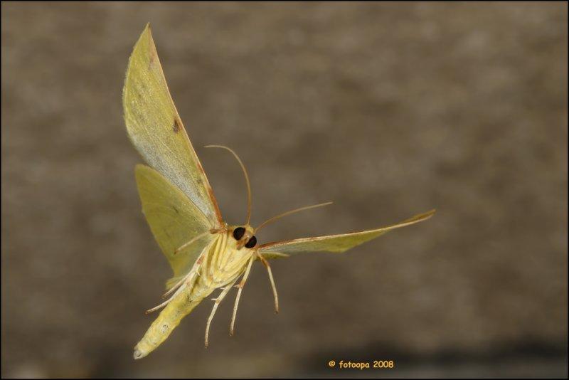 Opisthograptis luteolata - hagedoornvlinder 17493