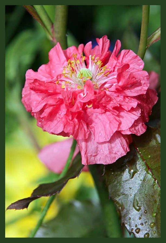 multi layered poppy....