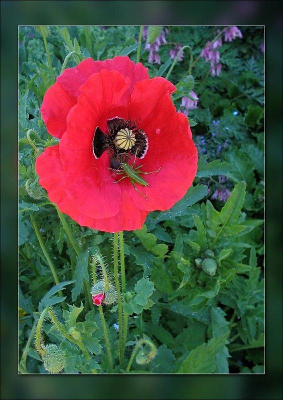 poppy with baby grasshopper