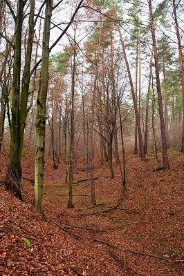 Ravine In Beech Forest