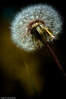 Dandi Weeds