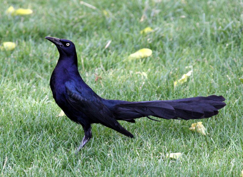 BIRD - GRACKLE - GREAT-TAILED GRACKLE - LAS CRUCES NEW MEXICO - NMSU CAMPUS (4).JPG