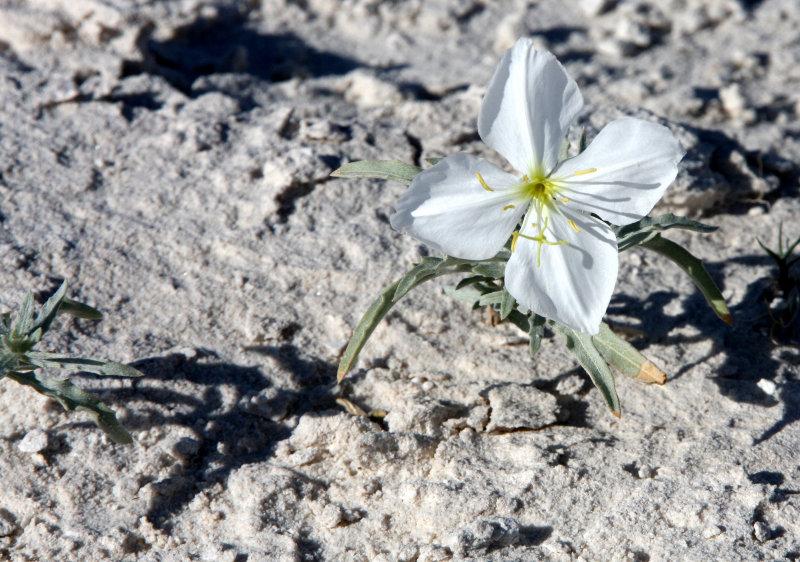 PAPAVERACEAE - Oenothera deltoides - WHITE DUNE EVENING PRIMROSE - WHITE SANDS NATIONAL MONUMENT NEW MEXICO (2).JPG