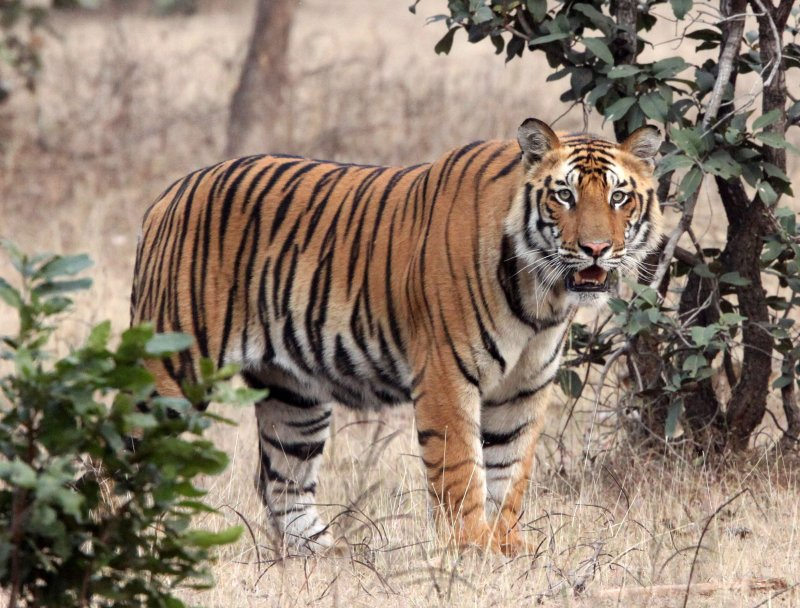 FELID - TIGER - BANDHAVGAR NATIONAL PARK INDIA (197).JPG