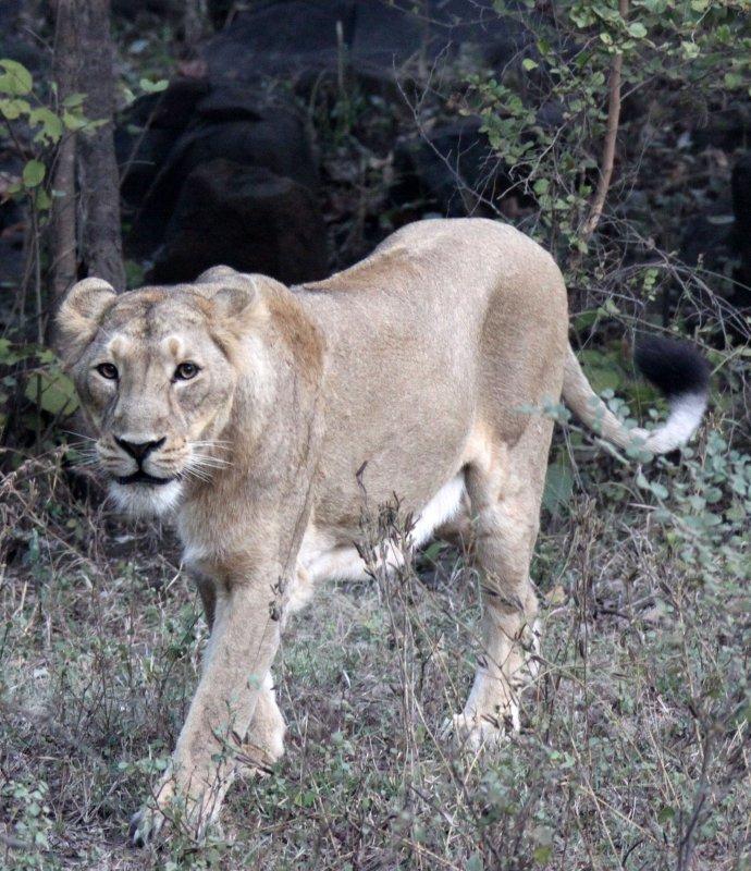 FELID - LION - ASIATIC LION - GIR FOREST GUJARAT INDIA (13).JPG
