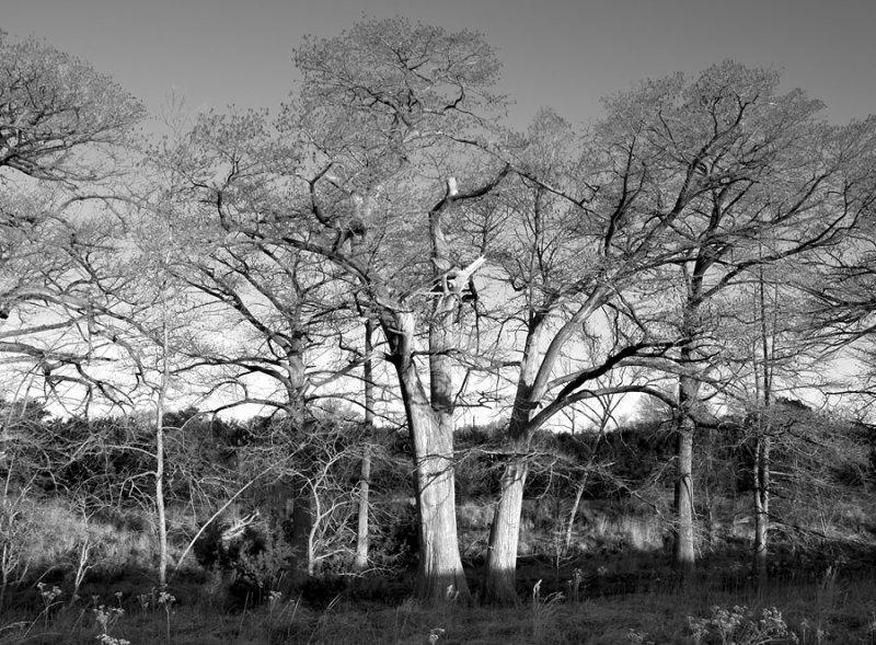 Trees in Morning Light BW