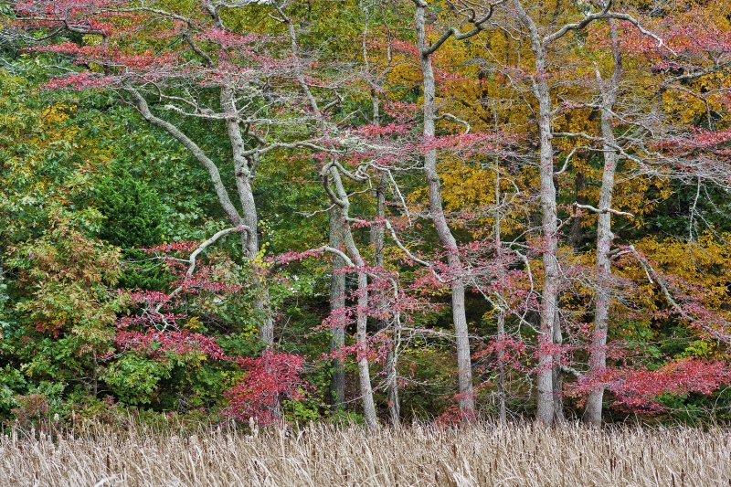 October : Red Maples