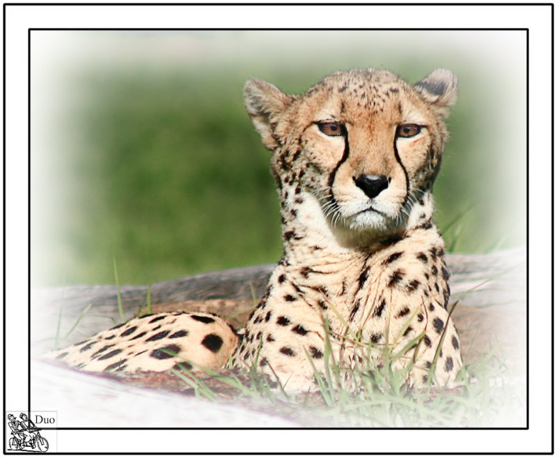 Cheetah at Dubbo Zoo.