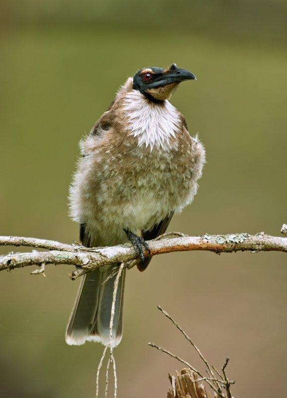 Friar Bird