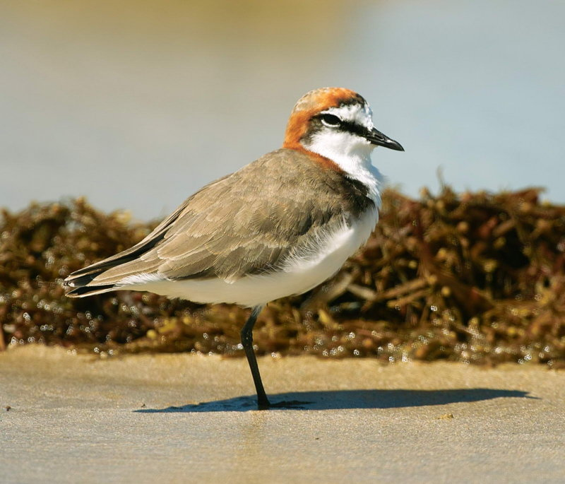 Red Capped Plover Male