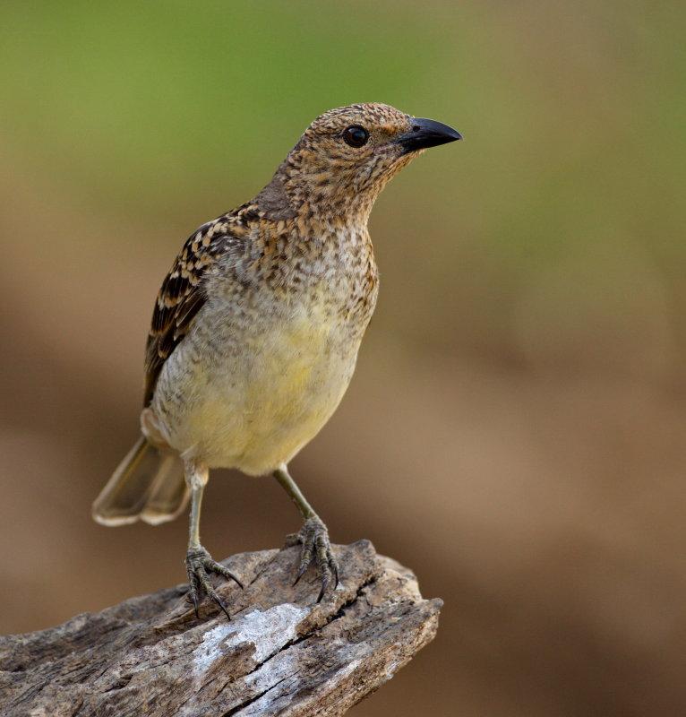Western Bower Bird