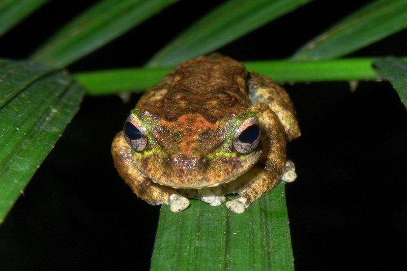 Green-eyed treefrog <i>Litoria serrata</i> IMGP0569