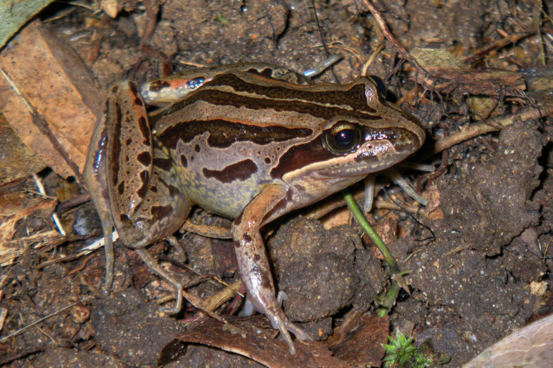 Striped marsh frog <i>Limnodynastes peroni</i> IMGP0583