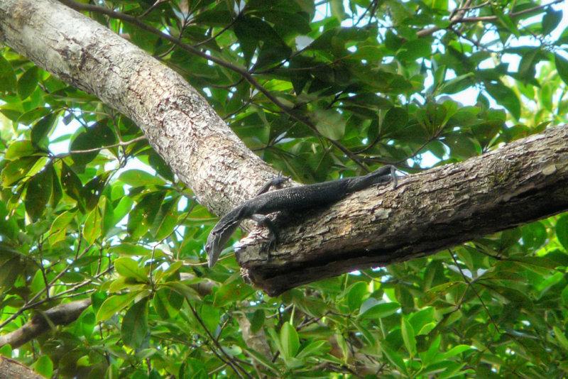 Canopy Goanna, <i>Varanus keithhorni</i>, Iron Range (P1000242)