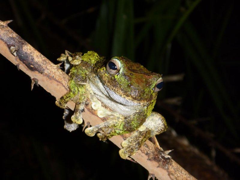 Female <i>Litoria serrata (=genimaculata)</i>P1000919