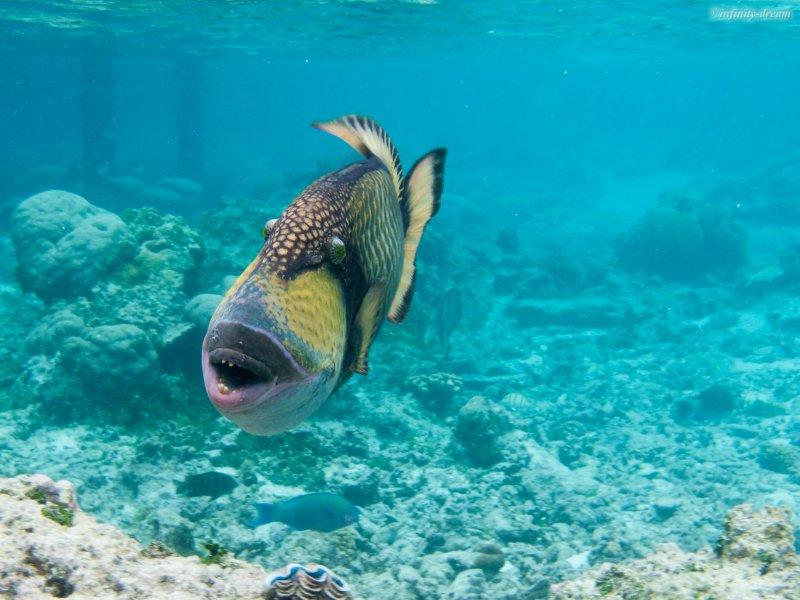 Attack of the titan triggerfish