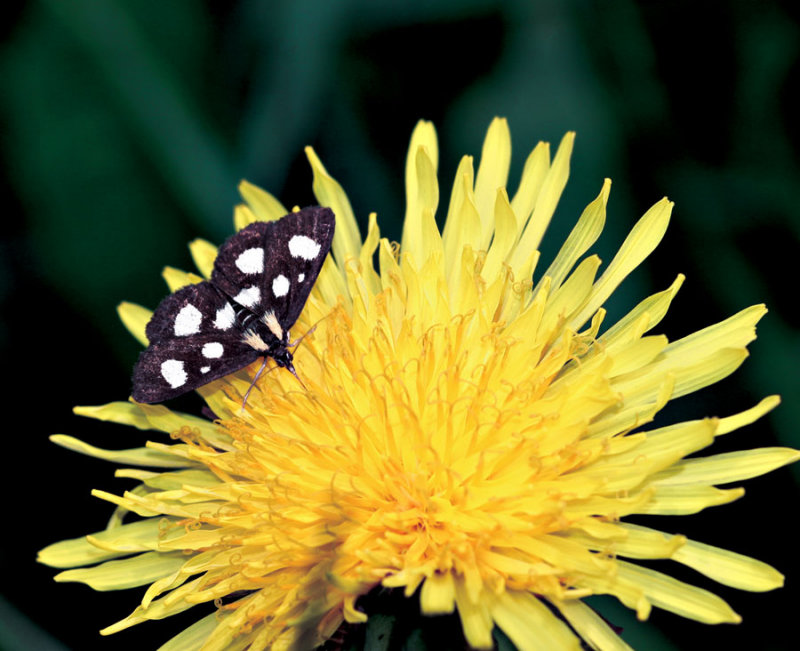 Eight Spotted Forester on a Dandelion Flower