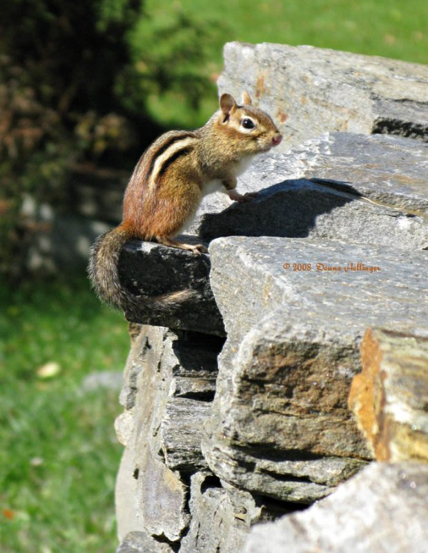 Chipmunk on the Terrace