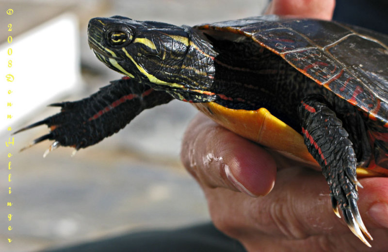 Painted Turtle Reaching