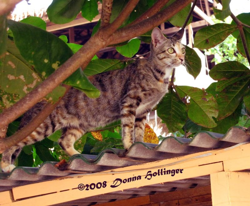 Feral Cat Hunting  in Kampong Saom