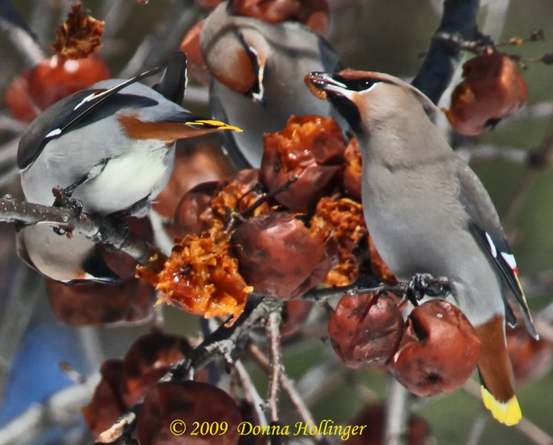 3 Bohemian Waxwings, one on rightside