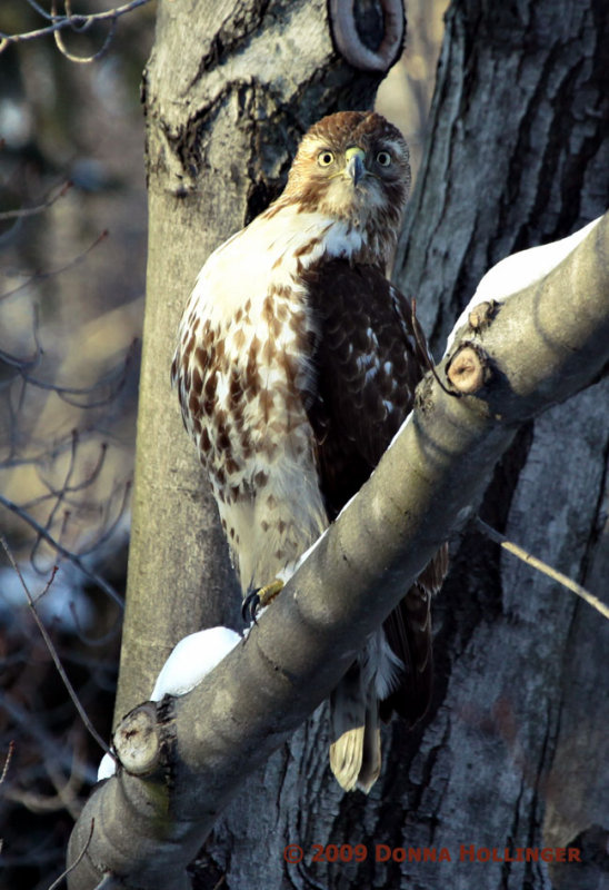 Red Tailed Hawk Spotted ME