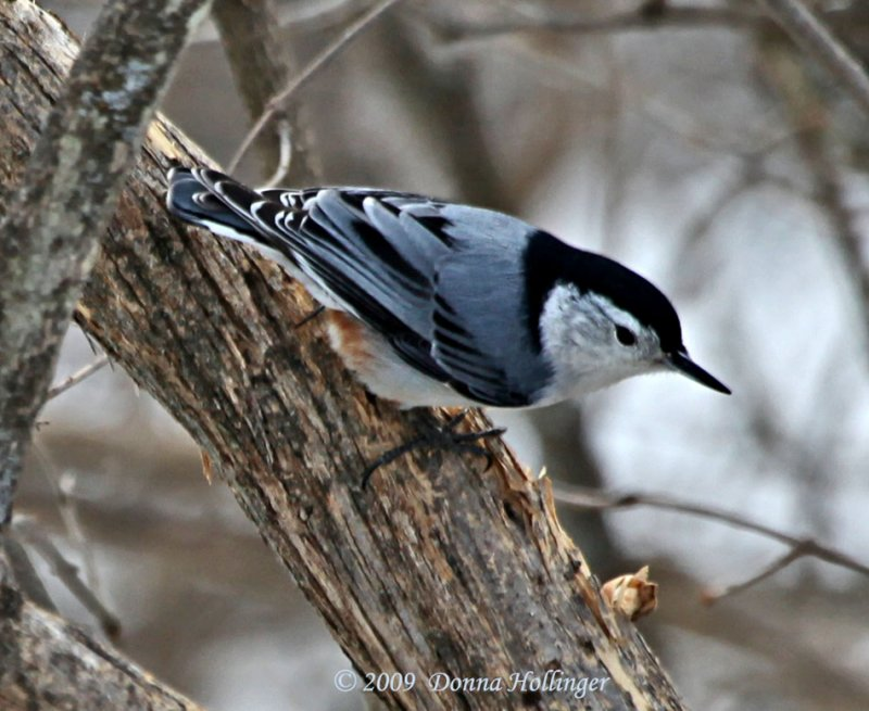 Sitta Carolinensis, White-breasted Nuthatch
