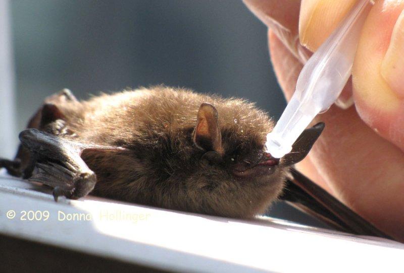Peter is watering this bat