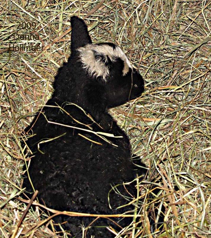 Newborn Lamb at Windy Hill Farm