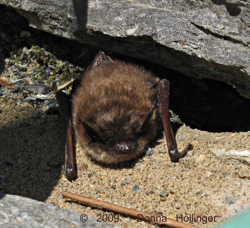 Little Brown Bat on the terrace