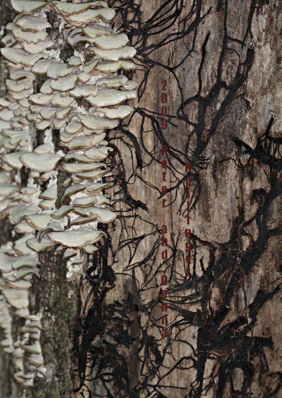 Mushroom Mycelia under Bark