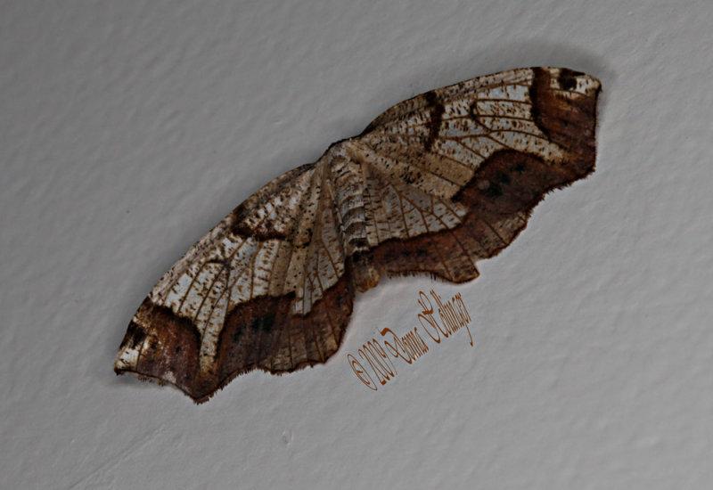 Birch Moth