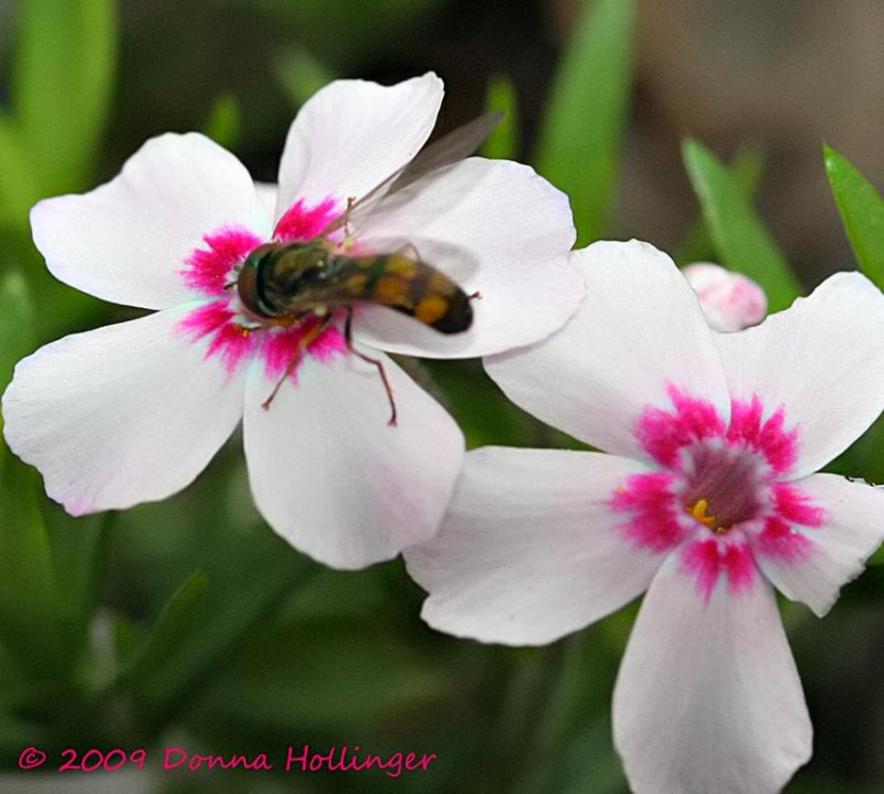 Hover Fly in Phlox
