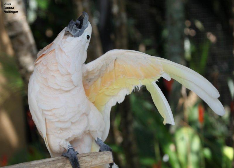 An Irrepressible Cockatoo