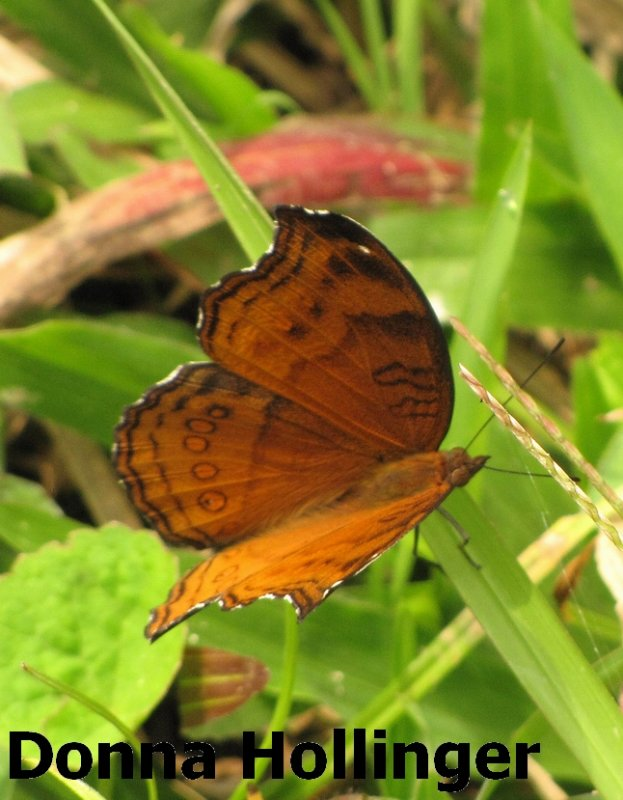 Pupuan Butterfly