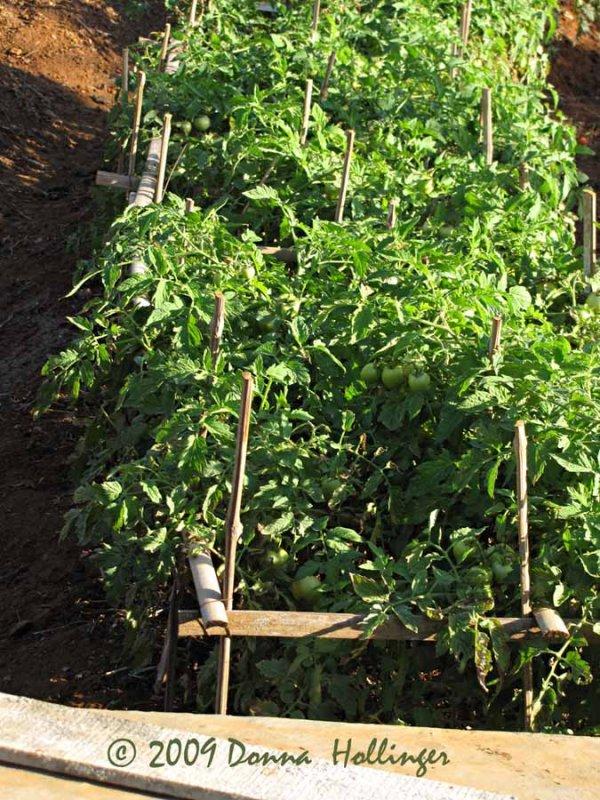 Iskandars tomatoes
