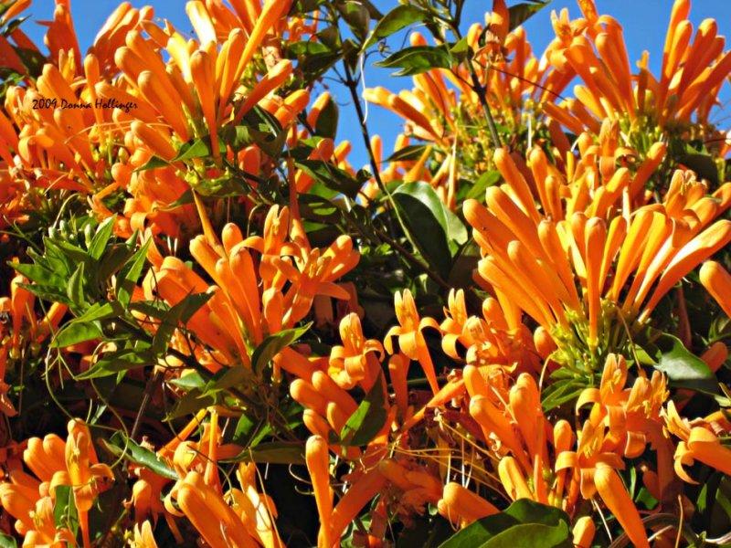 Winter Trumpet Vine Blossums!