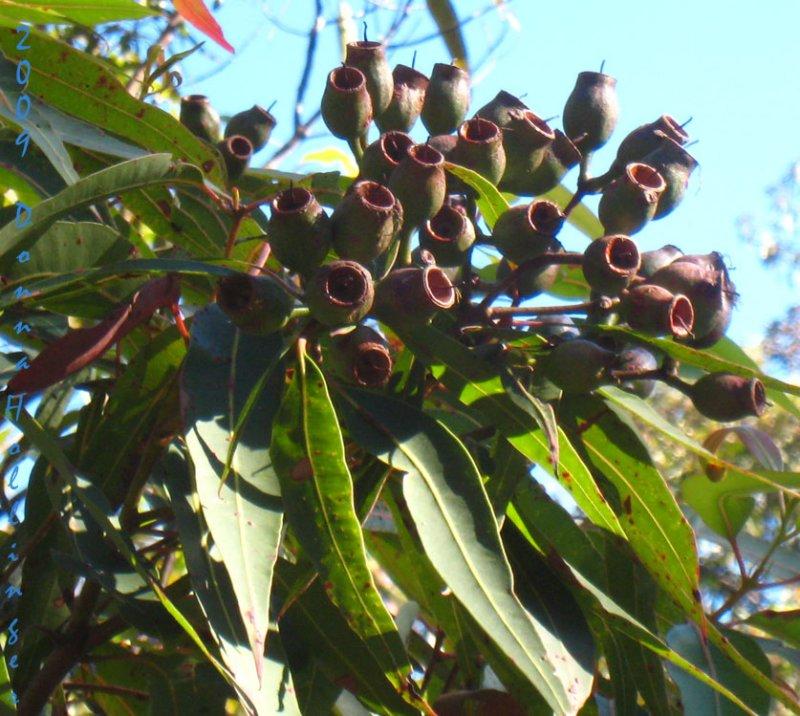 Eucalyptus Fruits