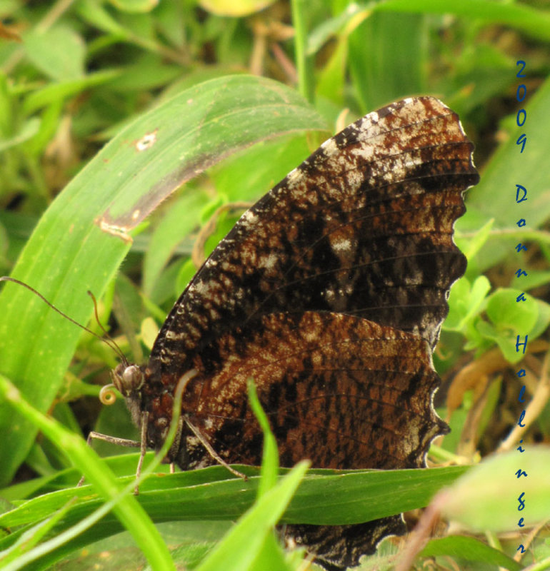 Butterfly (like our Mourning Cloak?)
