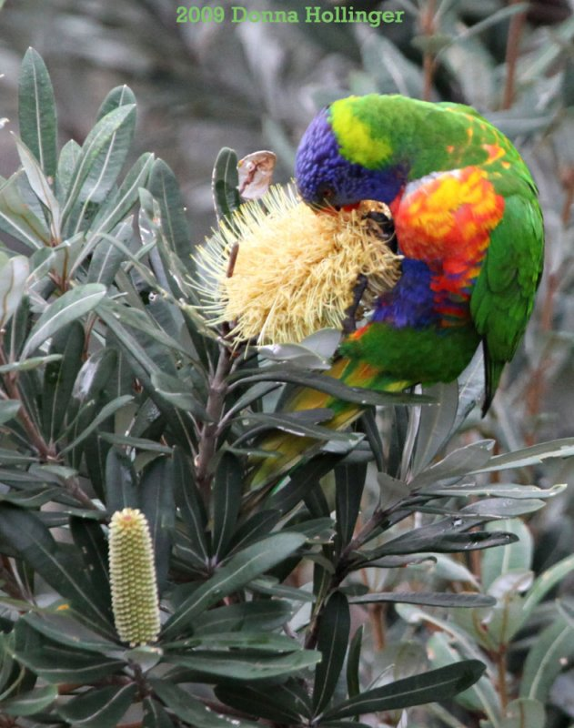 Rainbow Lorikeet Eating Banksia Seed