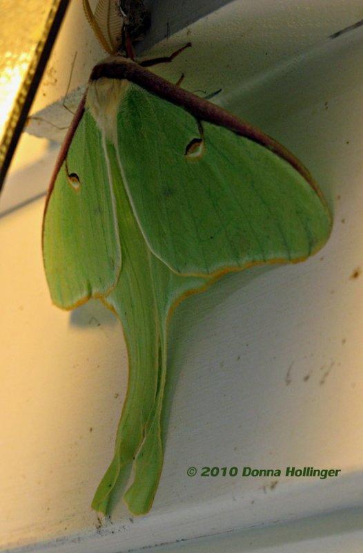 Luna Moth under my outside light!