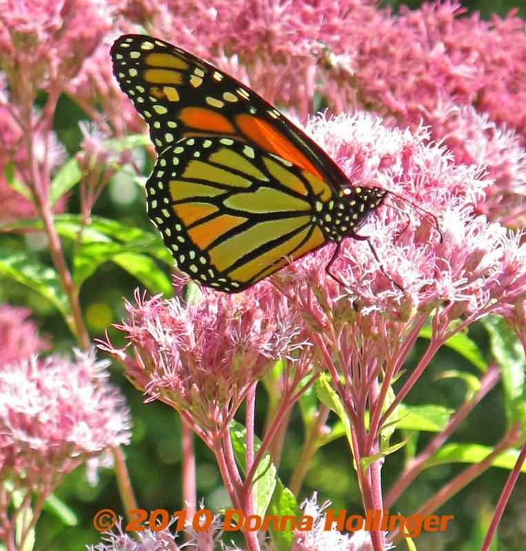 Male Monarch on Joe Pyeweed
