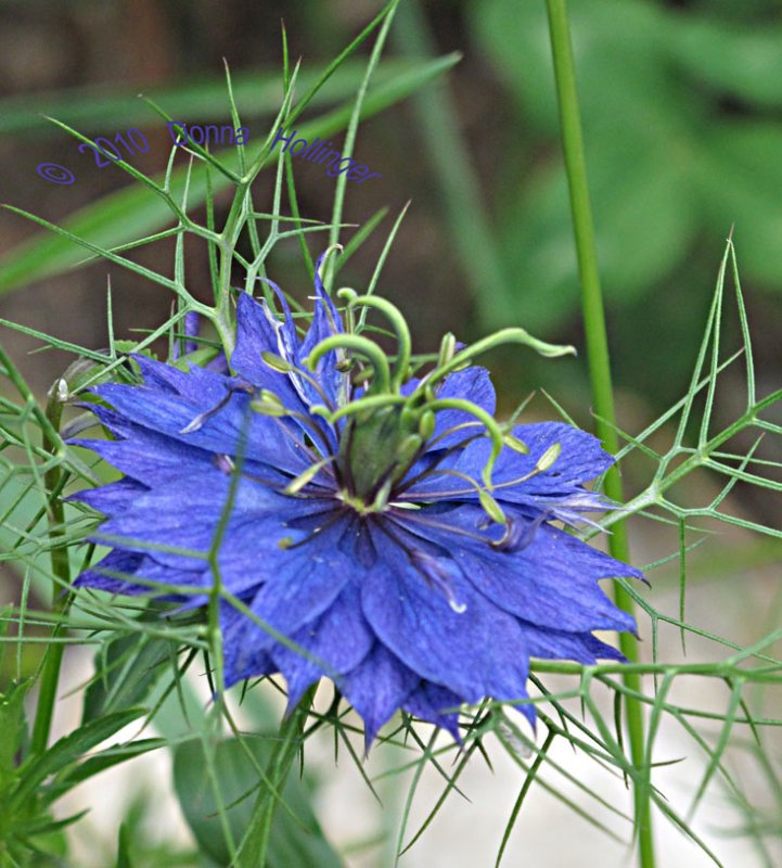 Nigella Bloom