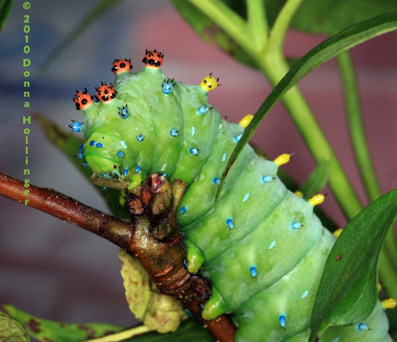 Head Shot of the Cecropia Caterpillar