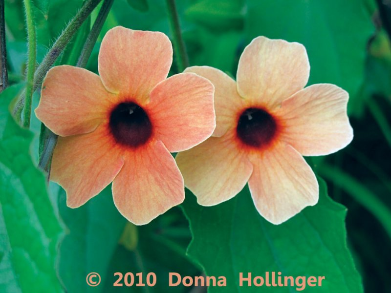 Twin Thunbergia Blossums