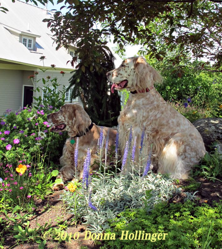 Two English Setters in the Garden